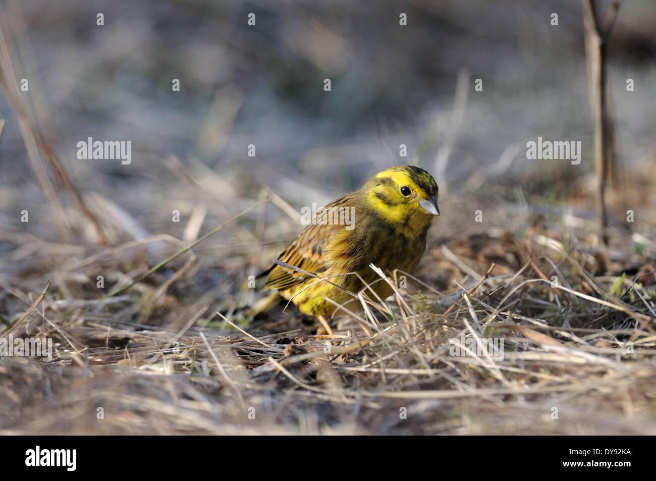 Yellowhammer, Emberiza citrinella, yellowhammers, songbirds, passerines, birds, bird, animal, animals, Germany, Europe, - Stock Image