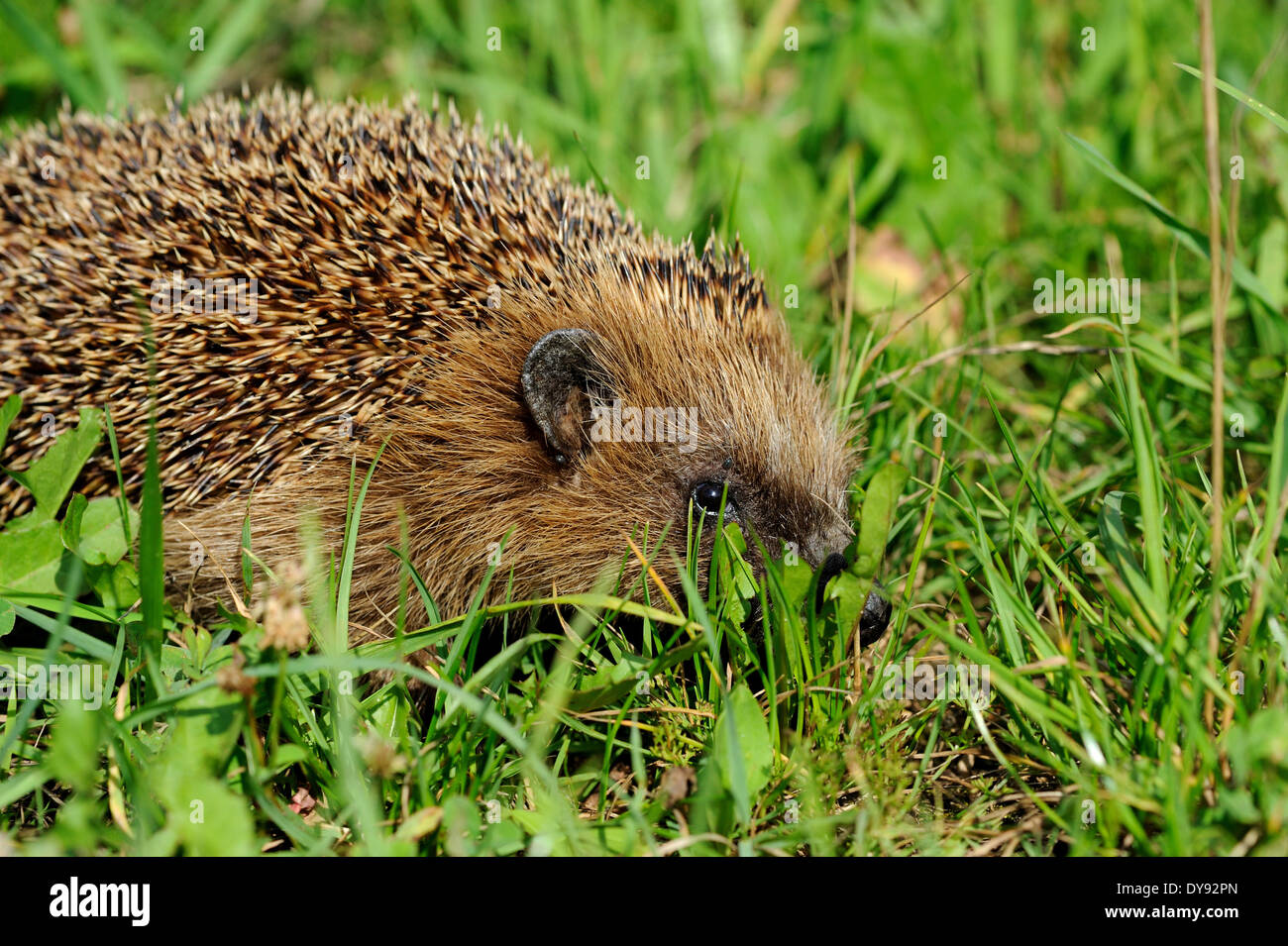 Hedgehog, bristling, Erinaceus europaeus, Common hedgehog, European, summer, hedgehog, summer, animal, animals, Germany, Europe, - Stock Image