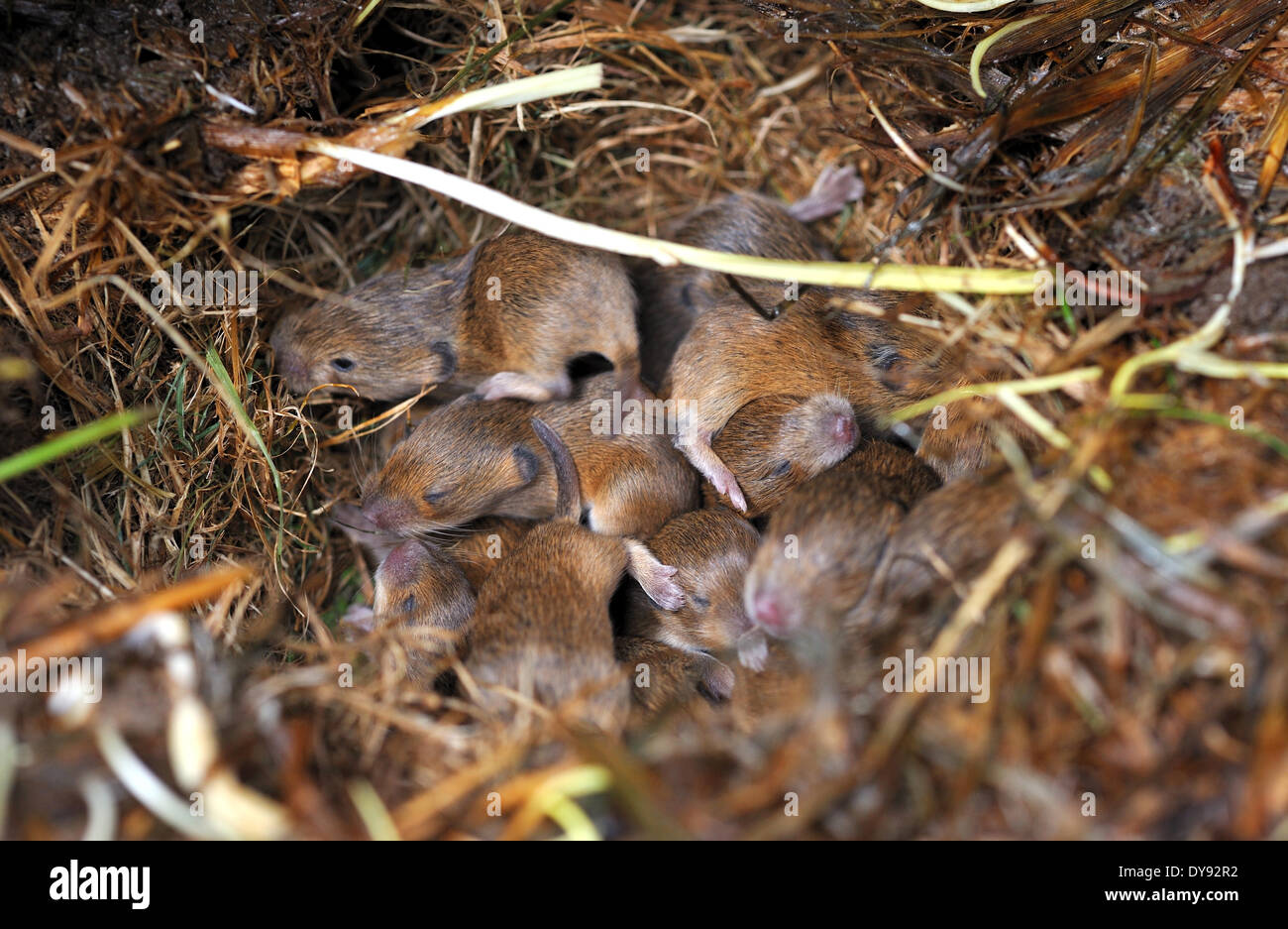 house mouse rodent mice mus musculus little mouse rodent gray mouse fur animal food eat young nest animal animals Germany, - Stock Image