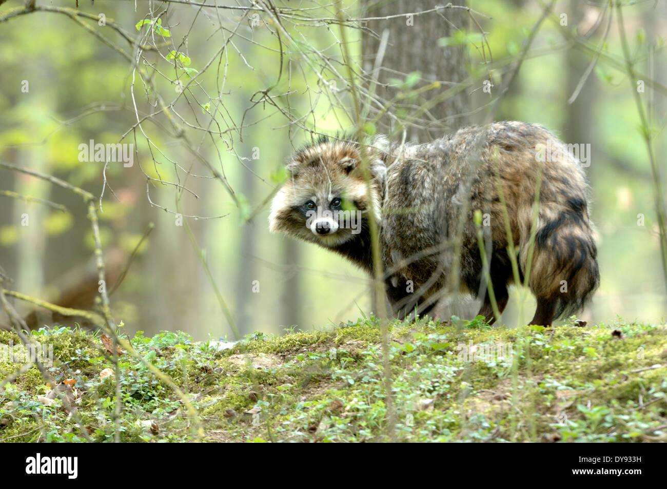 raccoon dog Enok Nyctereutes procyonoides canids predators spring Immigrated wild animals invasive fur fur animal run away live - Stock Image
