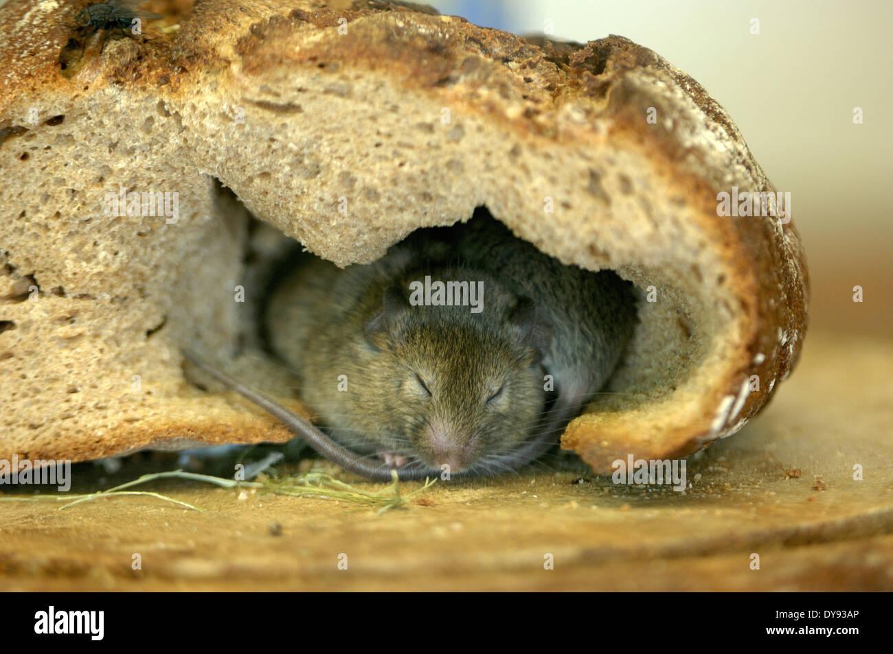 brown rat street rat common rat Rattus norvegicus muroids rats Norway rat rodents rat bread animal animals Germany Europe, - Stock Image