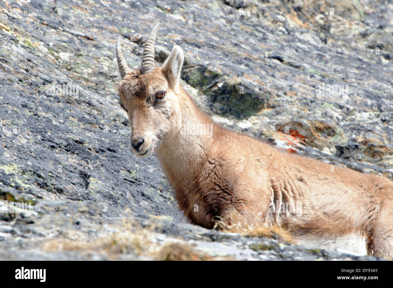 Capricorn Ibex mountain goat cloven-hoofed animal horns Bovidae goat-antelopes Capra ibex winter snow mountains rut goats hor - Stock Image