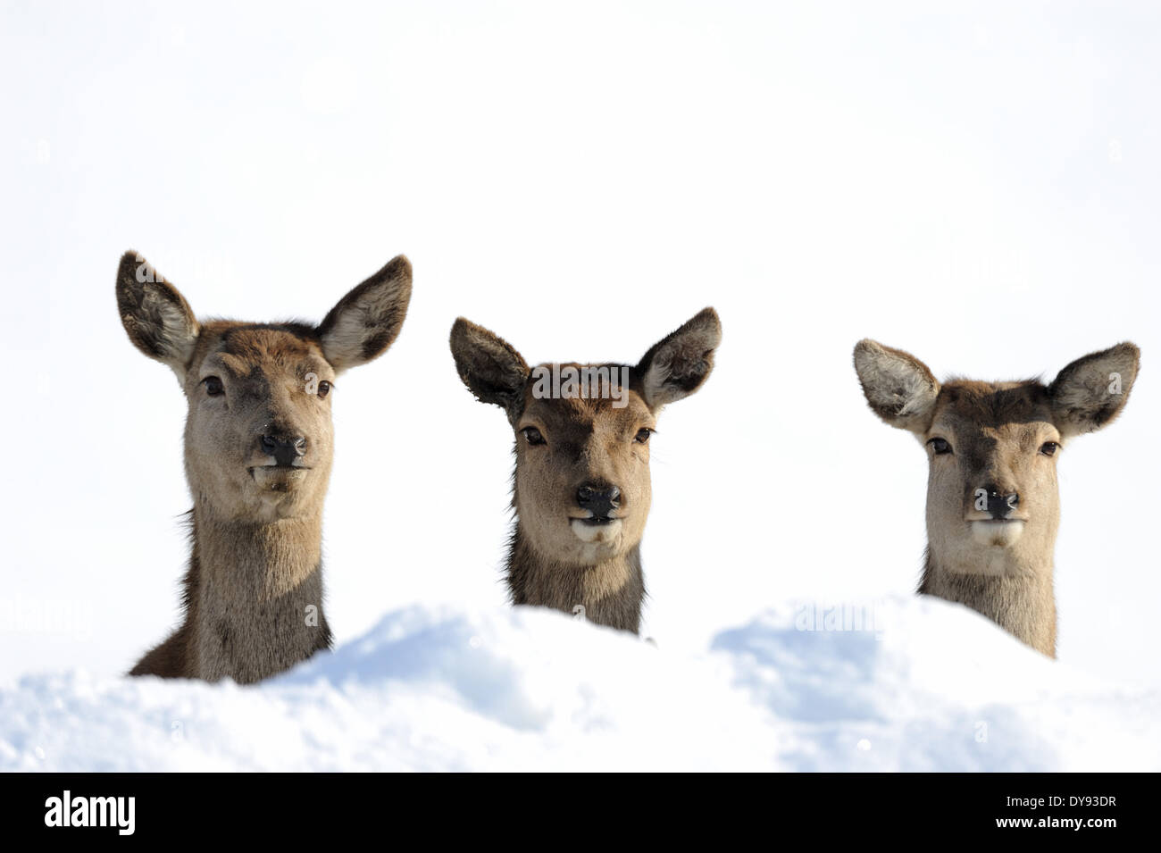 Red deer antlers antler Cervid Cervus elaphus deer stag stags hoofed animals summers velvet autumn snow animal animals Germ - Stock Image