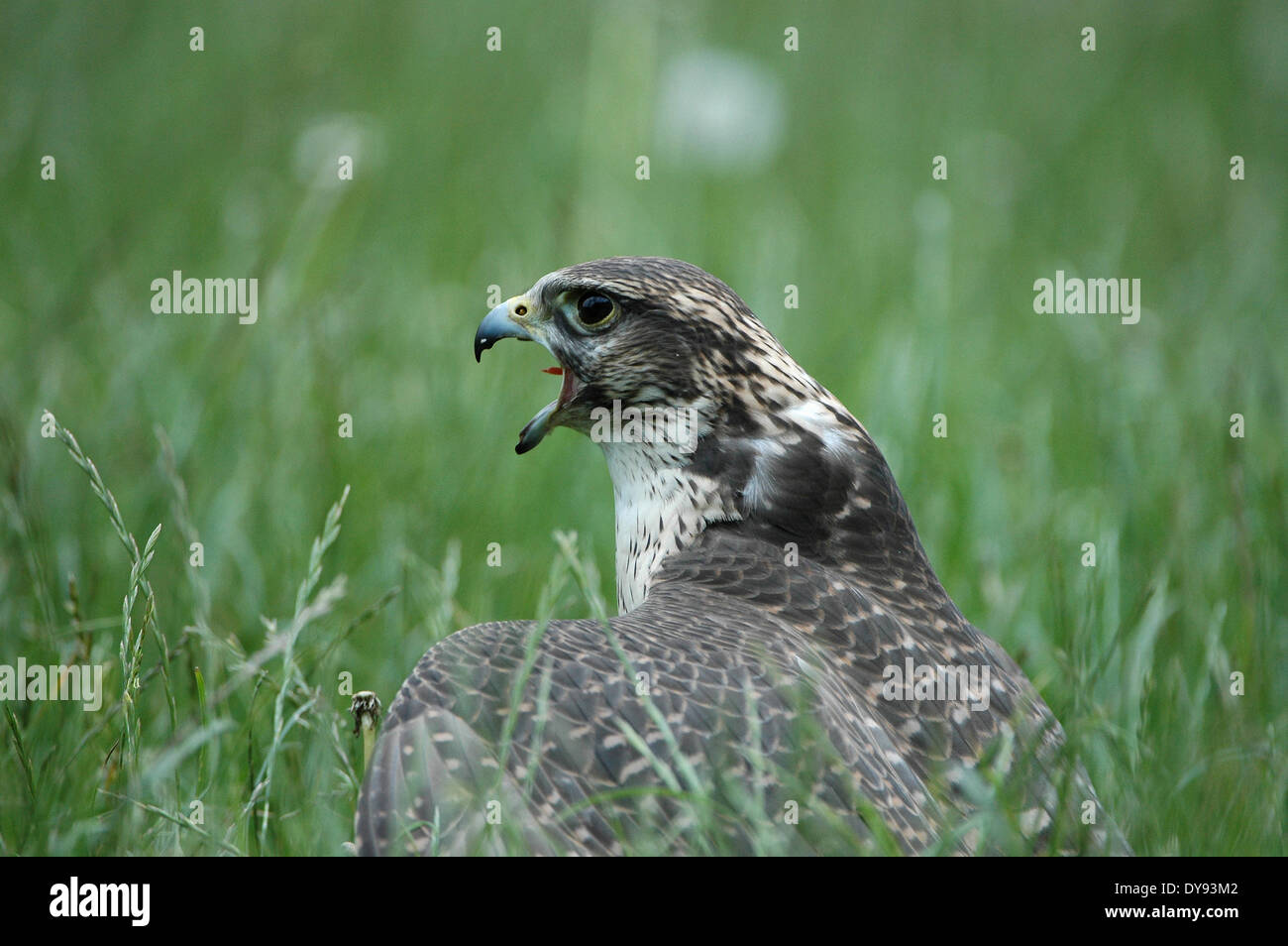 Lanner falcon, raptor, bird of prey, caracaras, Falco biarmicus, birds, animal, animals, Germany, Europe, - Stock Image