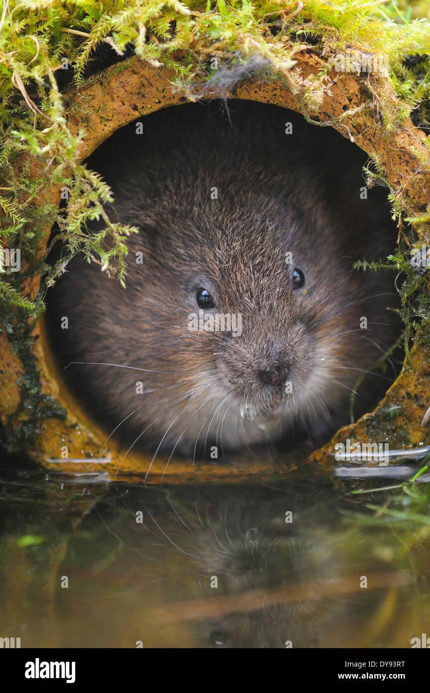 Water vole UK - Stock Image
