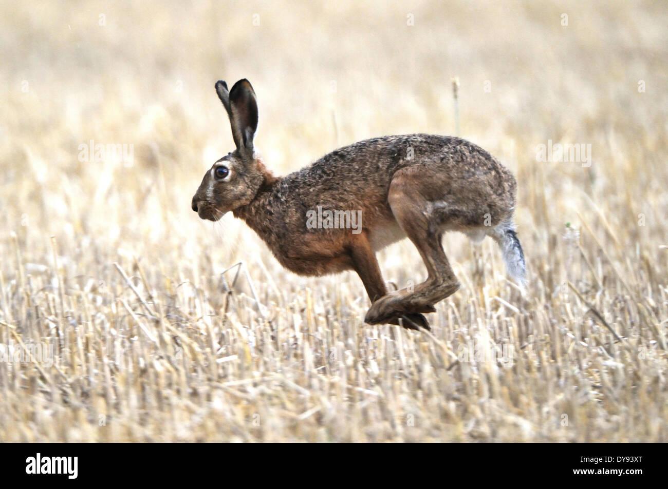 Hare Rabbit Lepus europaeus Pallas hares rabbits field hares field hare bunny lamp stubble field summer flee animal animals, - Stock Image