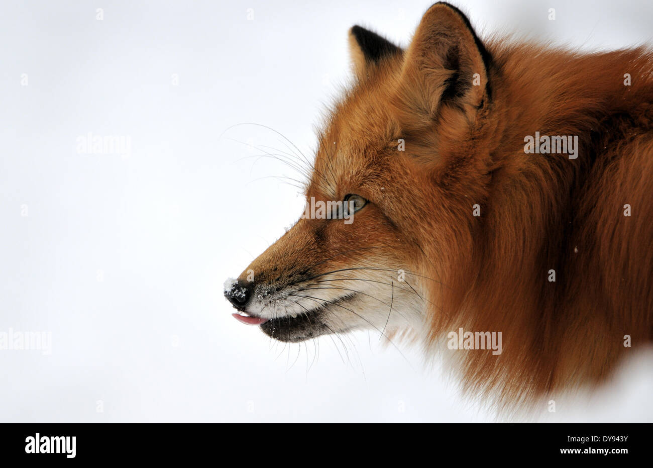 Red fox fox predator canids crafty European fox Vulpes vulpes foxes red fox winter coat winter skin snow winter animal anima - Stock Image