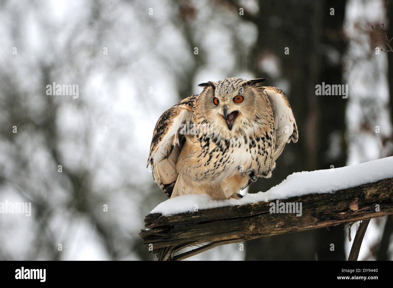 owl owls Siberian owl Bubo bubo sibiricus owls-like night birds of prey birds bird raptor animal animals Germany Europe, - Stock Image