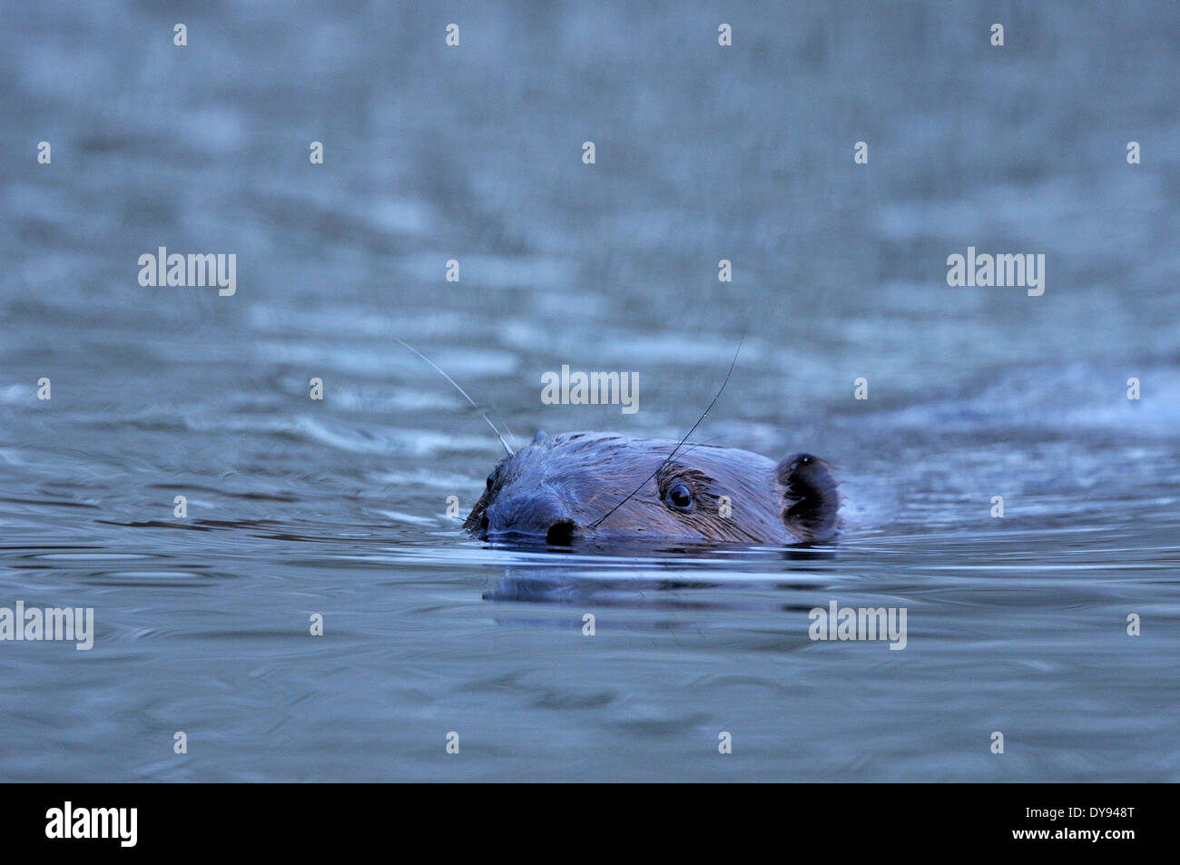Beavers rodents Castor fiber rodent European beaver mammals rodents beaver damages swimming animal animals Germany Europe, - Stock Image