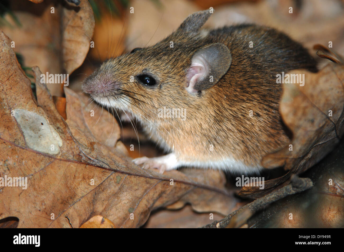 house mouse, rodent, mice, mus musculus, little, mouse, animal, animals, Germany, Europe, Stock Photo