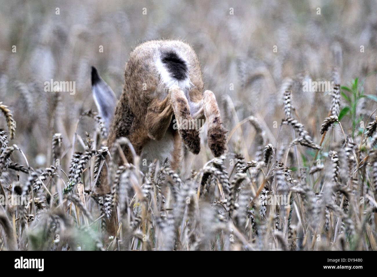 Hare, Rabbit, Lepus europaeus Pallas, brown hare, bunny, animal, animals, Germany, Europe, - Stock Image