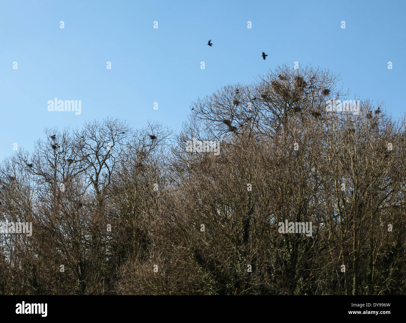Rooks flying next to a rookery in the tree tops - Stock Image