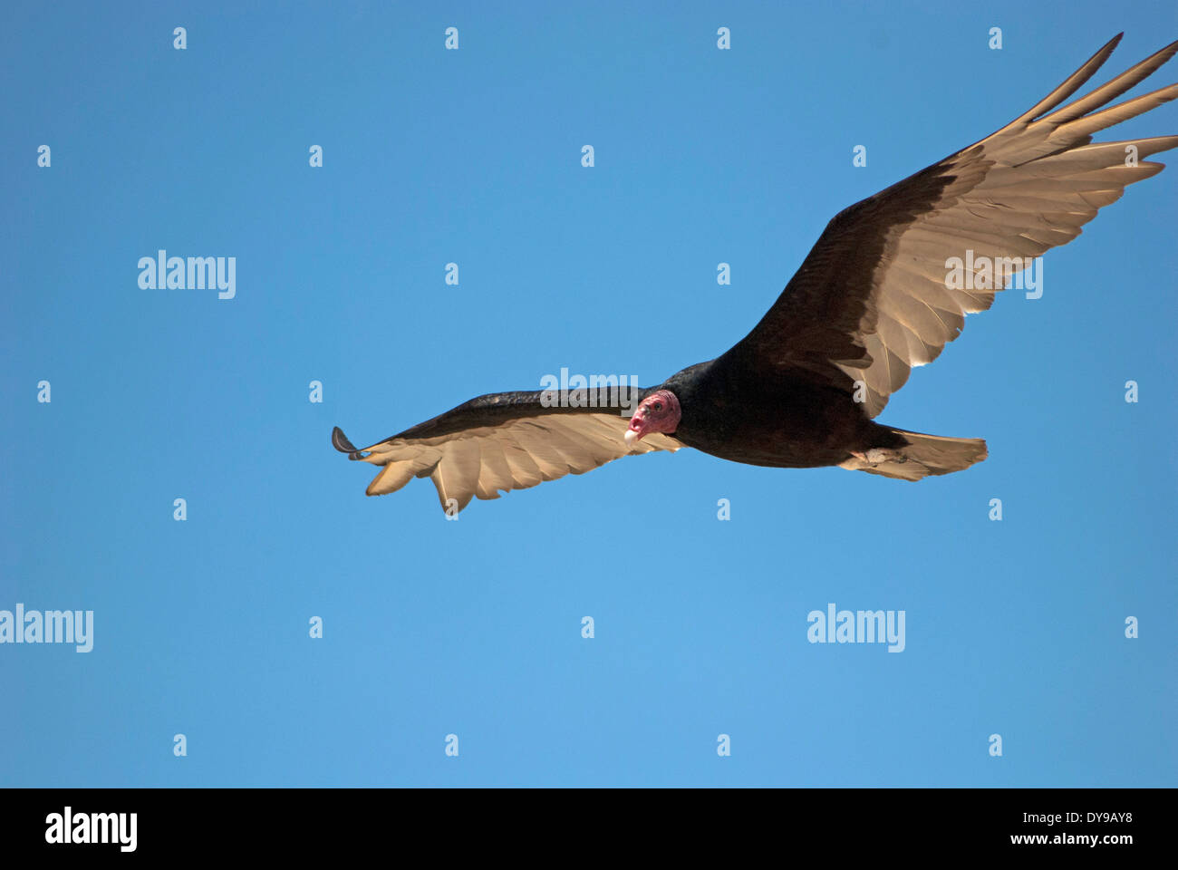 Turkey Vulture (Cathartes aura) flying in the sky - Stock Image