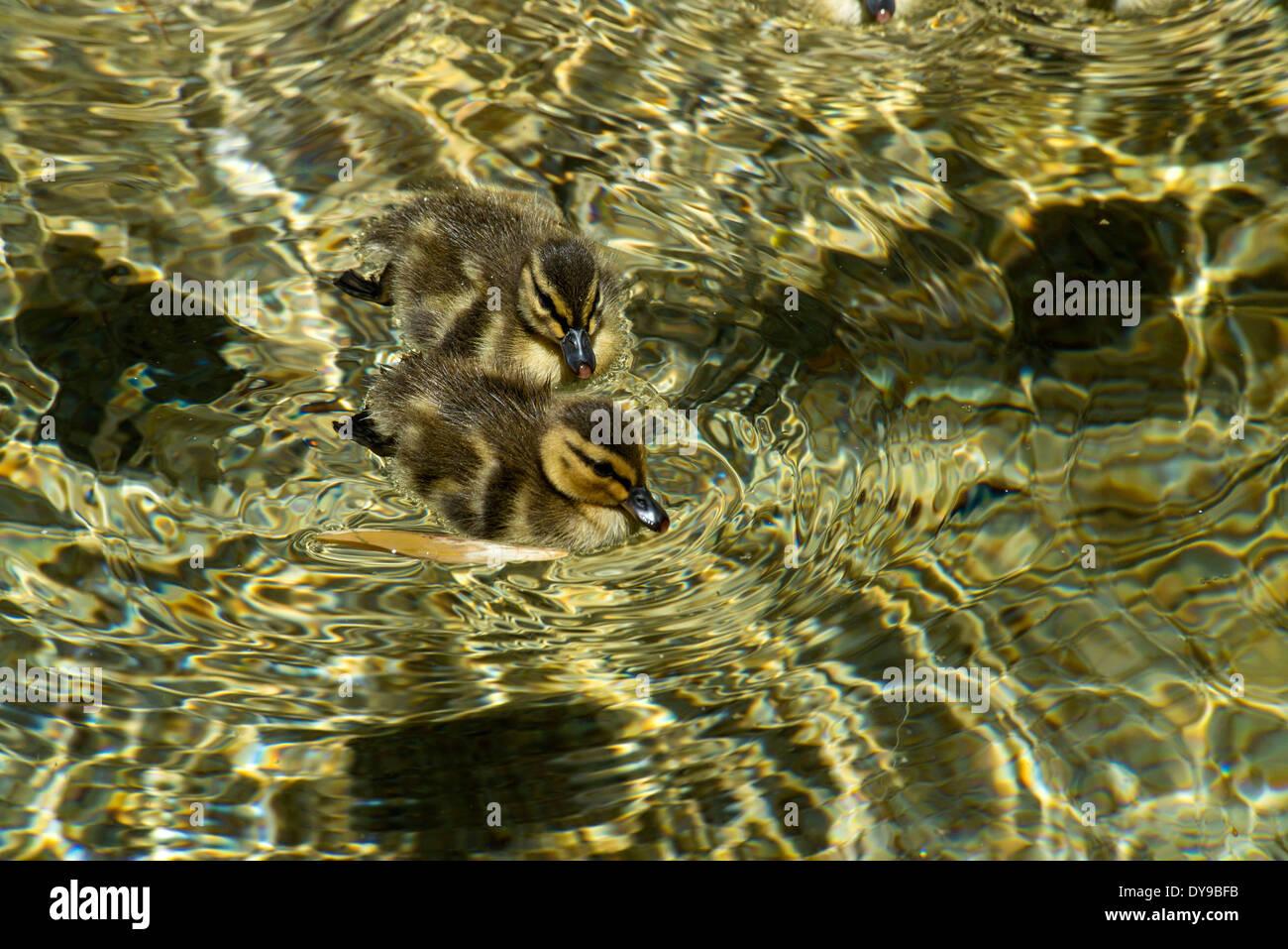 mallard ducklings, duck, animals, birds, USA, United States, America, water - Stock Image