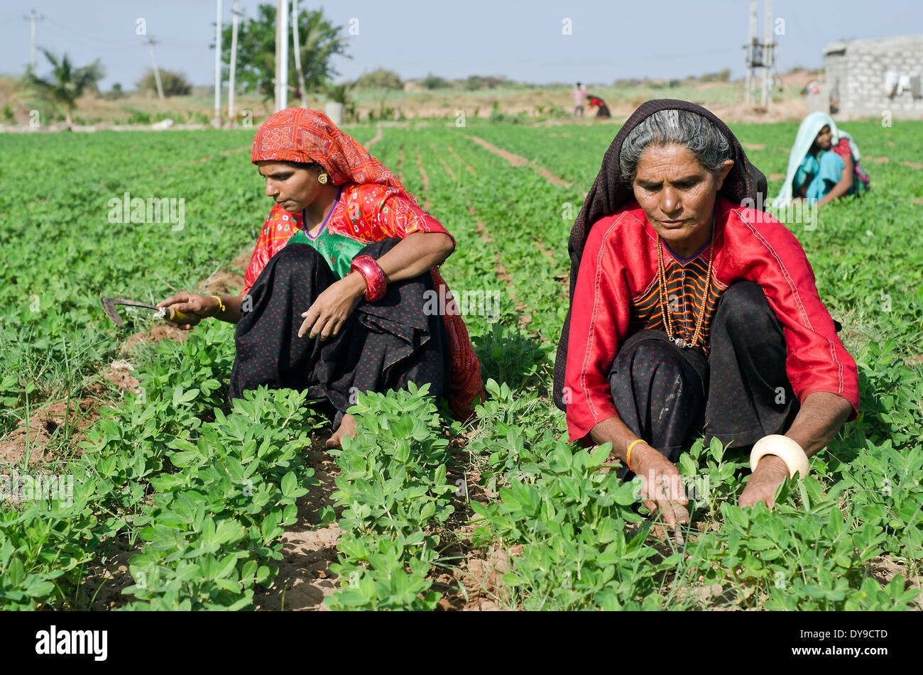 Ahir women working in the field ,Kutch ,India - Stock Image