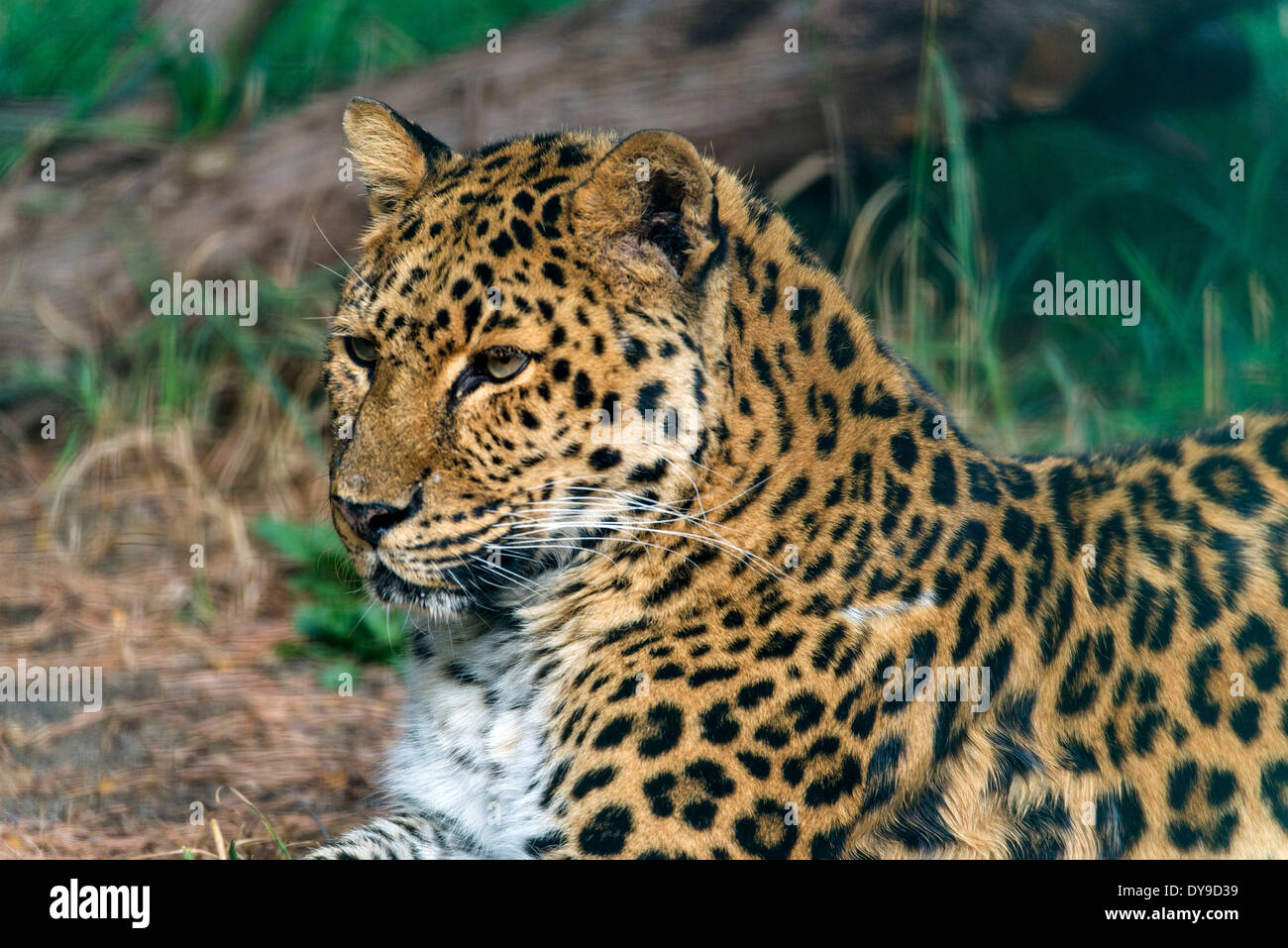 Amur Leopard, panthera pardus orientalis, leopard, animal, portrait, USA, United States, America, Stock Photo