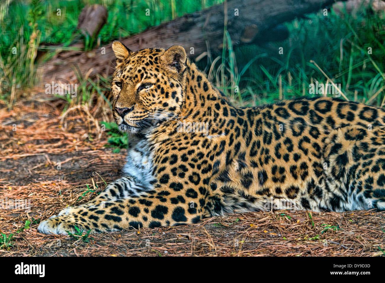 Amur Leopard, panthera pardus orientalis, leopard, animal, portrait, USA, United States, America, - Stock Image
