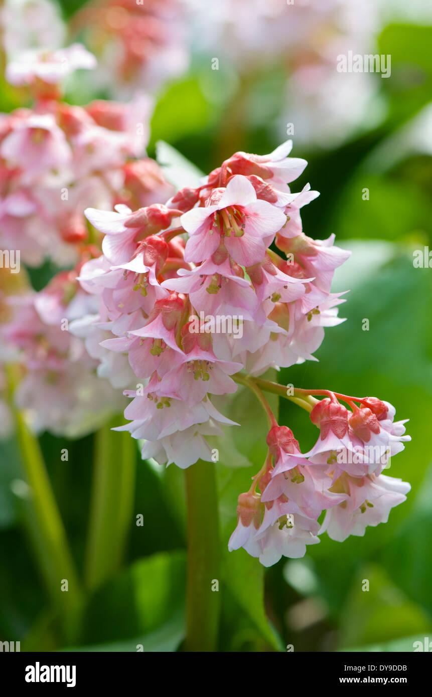 Pink Bergenia Cordifolia Flowers In Spring Stock Photo 68434951 Alamy