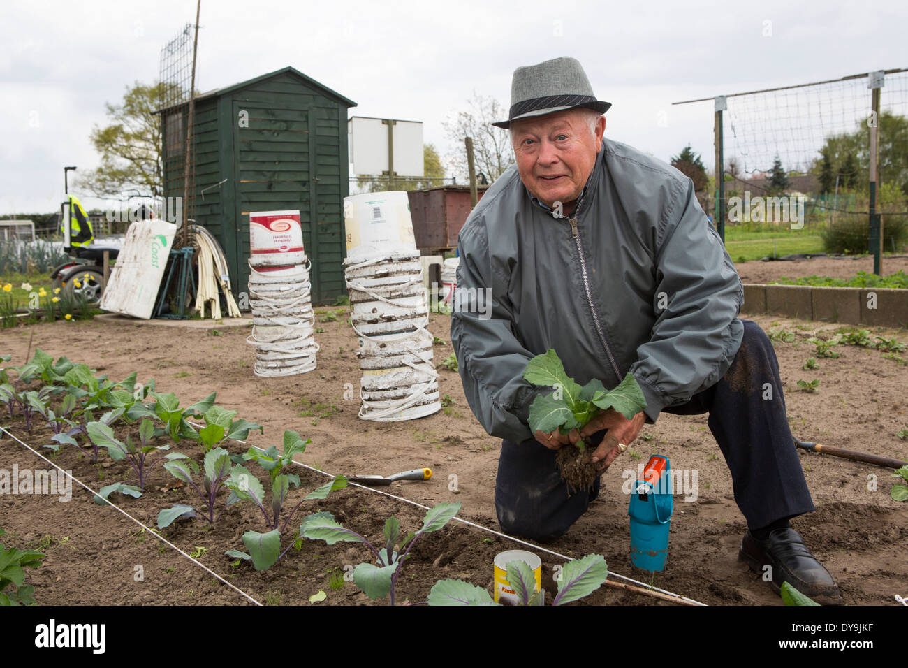 Active senior man planting diverse cabbage plants in his allotment garden, Netherlands Stock Photo