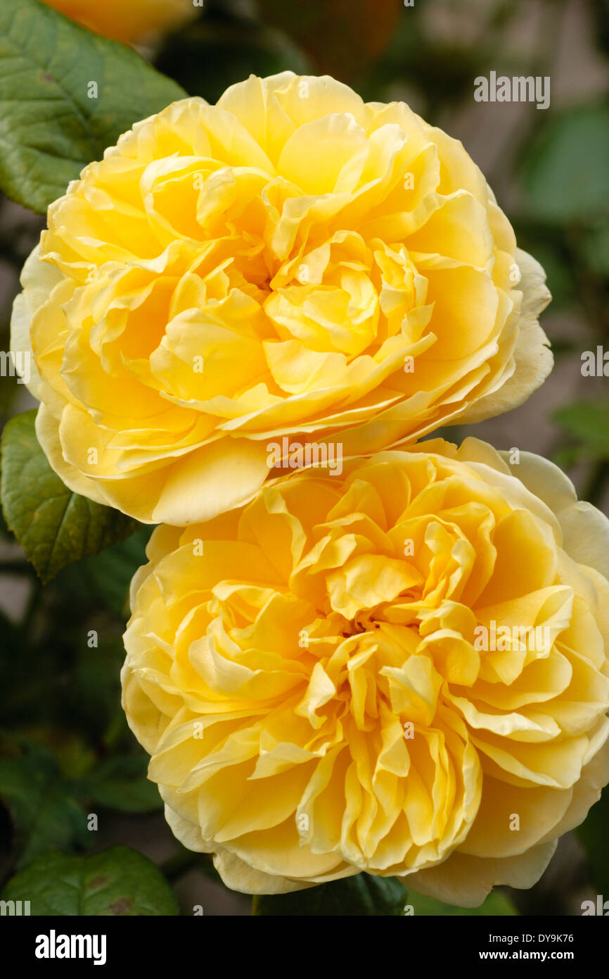 Charlotte Yellow Roses Rose Stock Photos Charlotte Yellow Roses