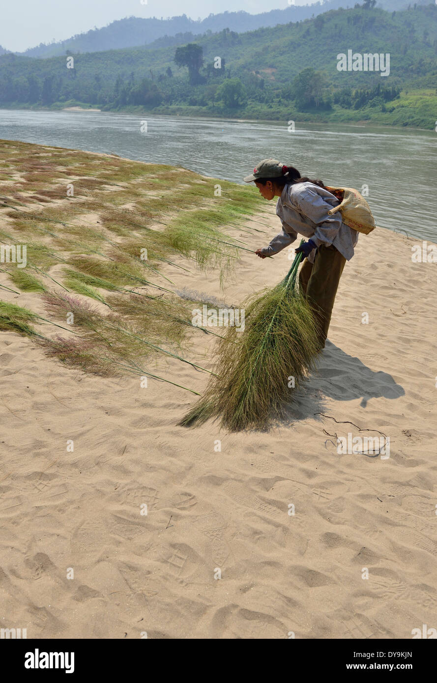 Woman drying  bushes for brush- broom making , in the sun on the sandy river banks of the Mekong River . - Stock Image