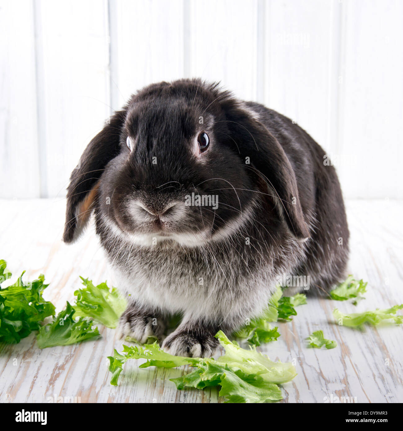 Cute soft black lop bunny rabbit on white wooden studio background with green lettuce - Stock Image