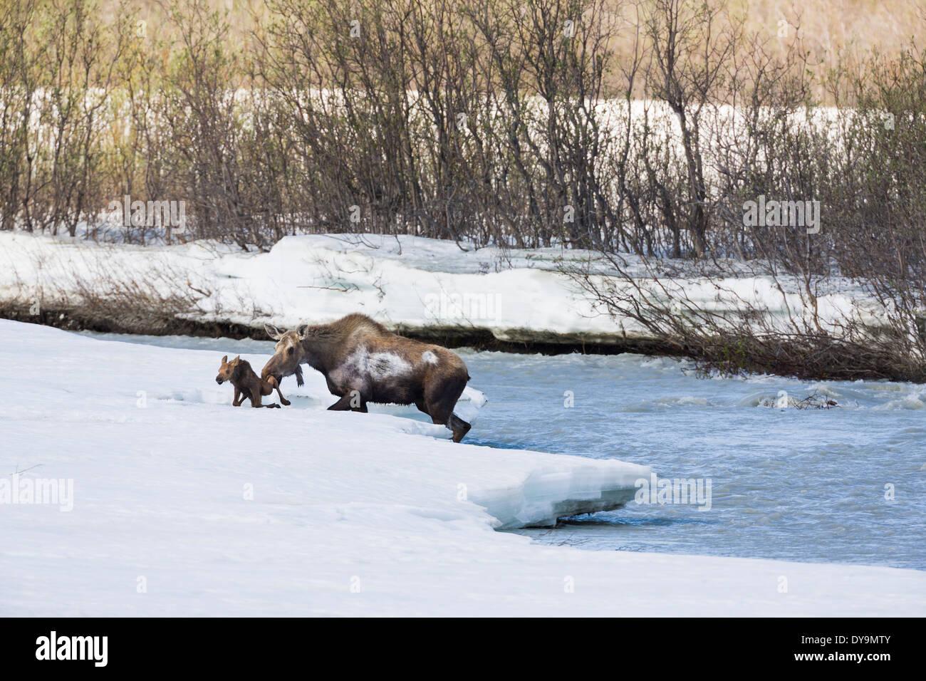 Cow And Spring Calf Moose Navigate The Swift Waters Of Phelan Creek In Interior Alaska. - Stock Image