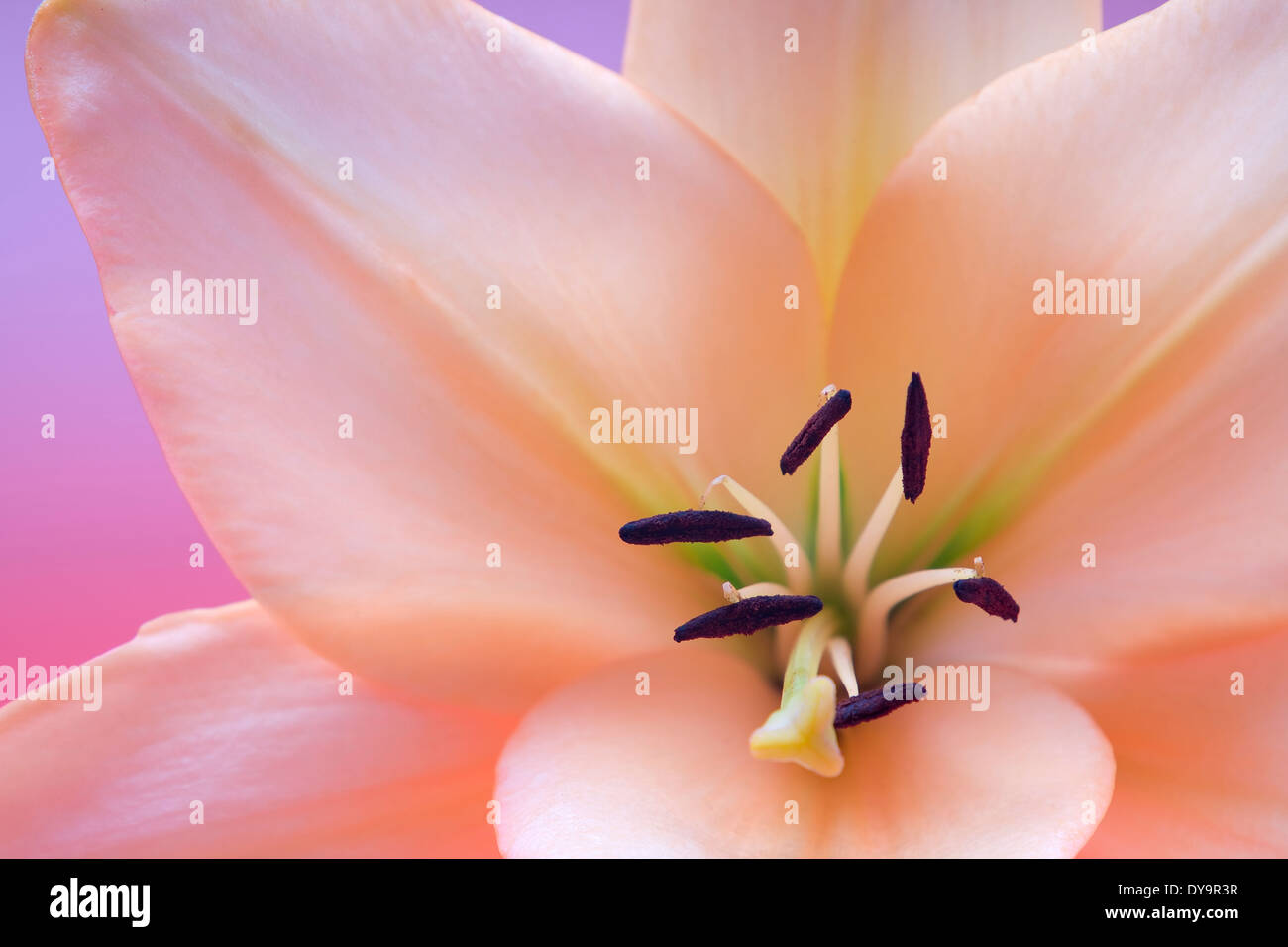 Madonna lily flower stock photos madonna lily flower stock images close up view of nice fresh madonna lily flower stock image izmirmasajfo