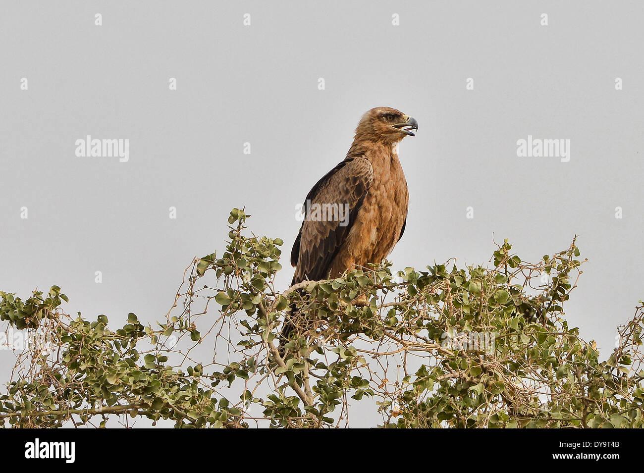 Tawny eagle (Aquila rapax), Omo Valley, Ethiopia - Stock Image