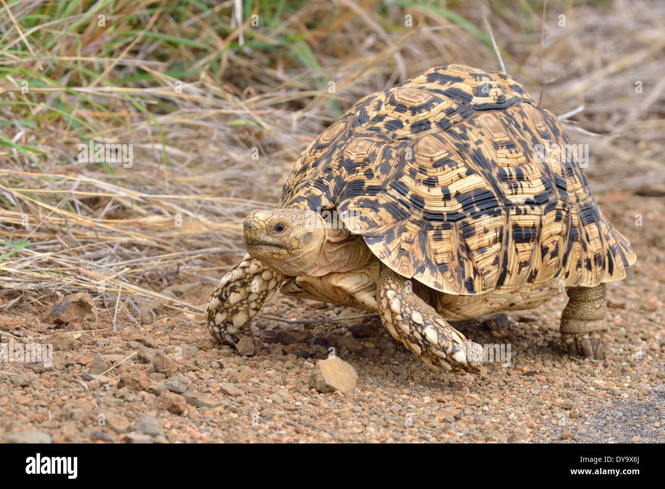 Leopard tortoise (Stigmochelys pardalis), crossing the tarred road, Kruger National Park, South Africa, Africa - Stock Image