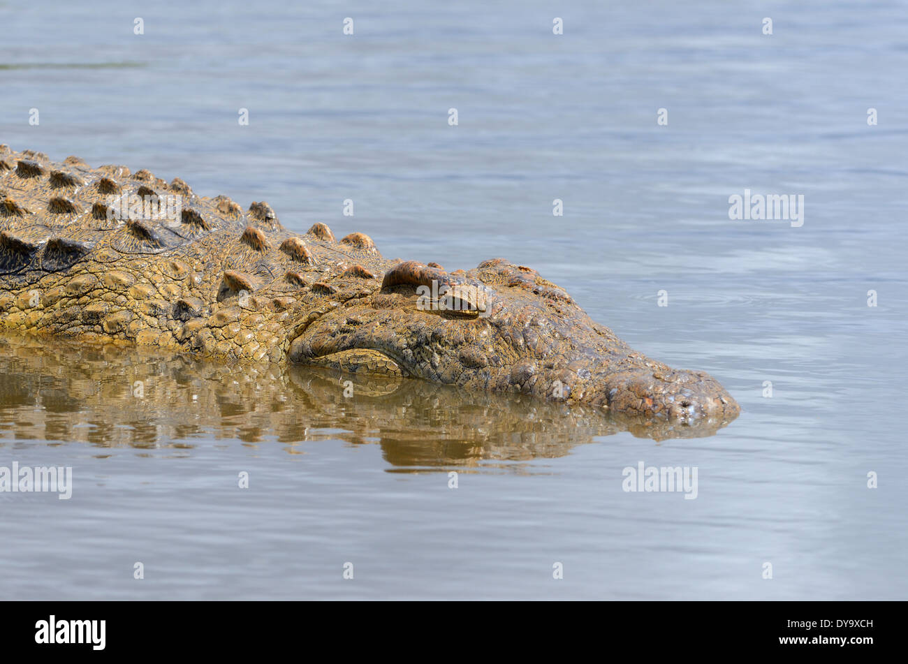 Nile crocodile (Crocodylus niloticus), taking a sun bath in water, Kruger National Park, South Africa, Africa Stock Photo
