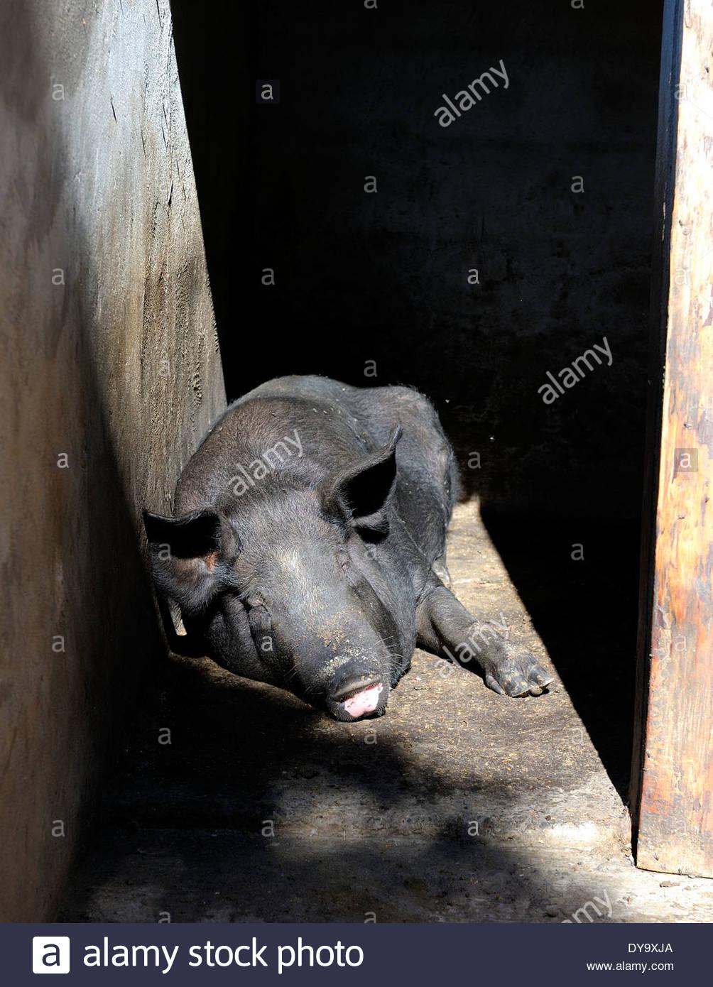 Modern Pig Sty: Pig Farming Floor Stock Photos & Pig Farming Floor Stock