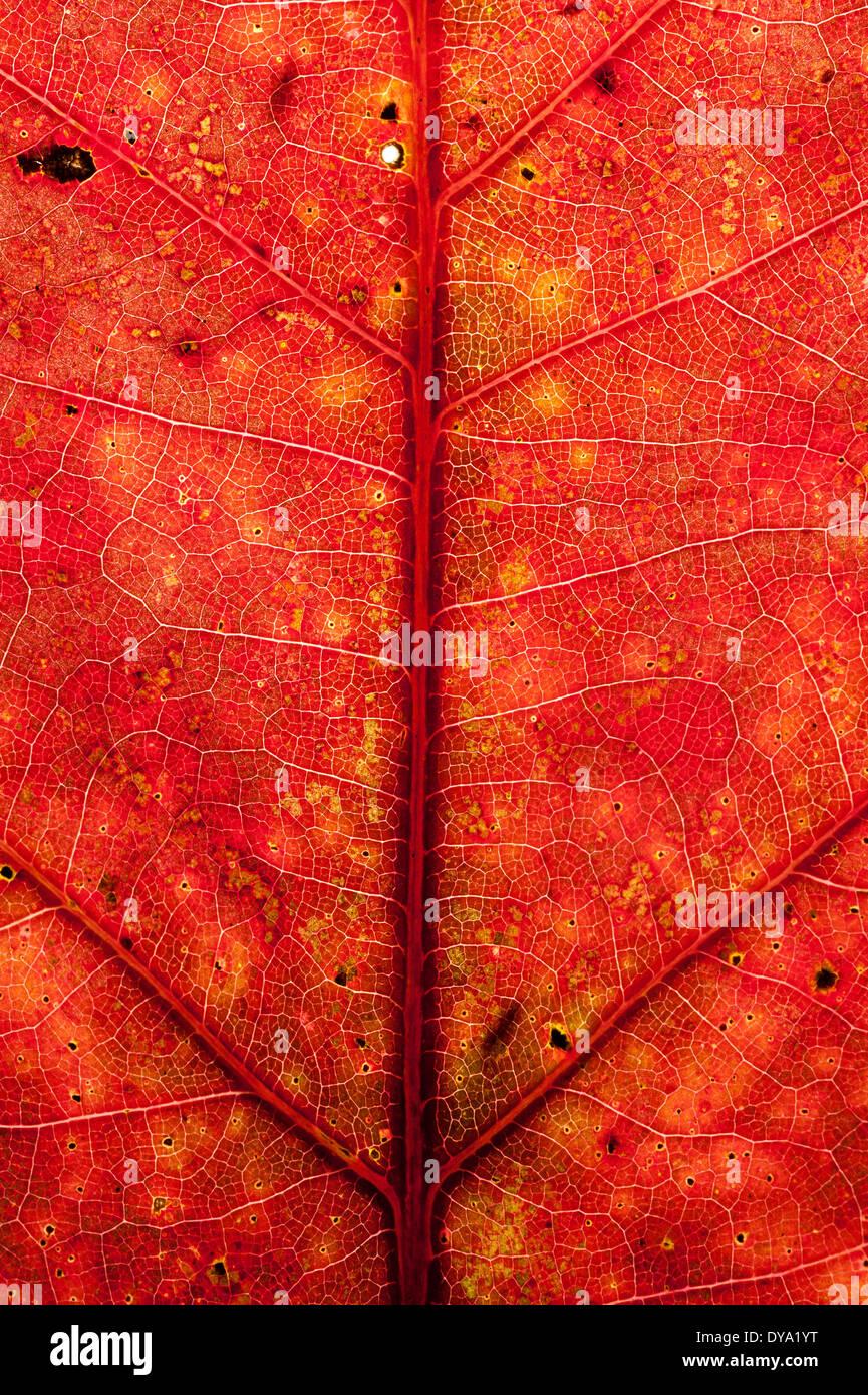 Red leaf detail - Stock Image