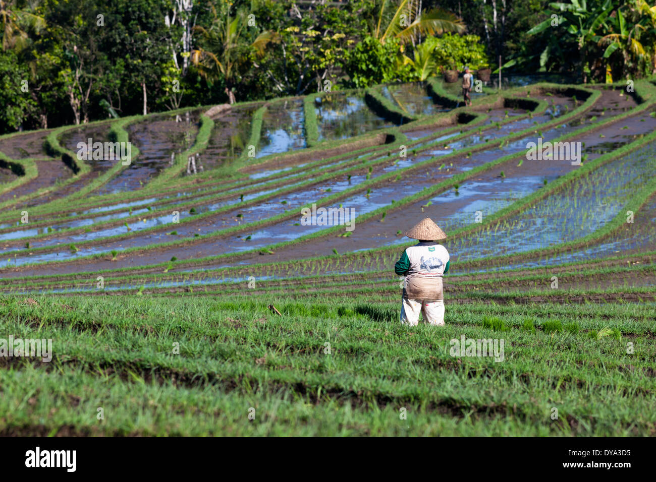 People working on rice field in region of Antosari and Belimbing (probably closer to Antosari), Tabanan Regency, Bali, Indonesia - Stock Image