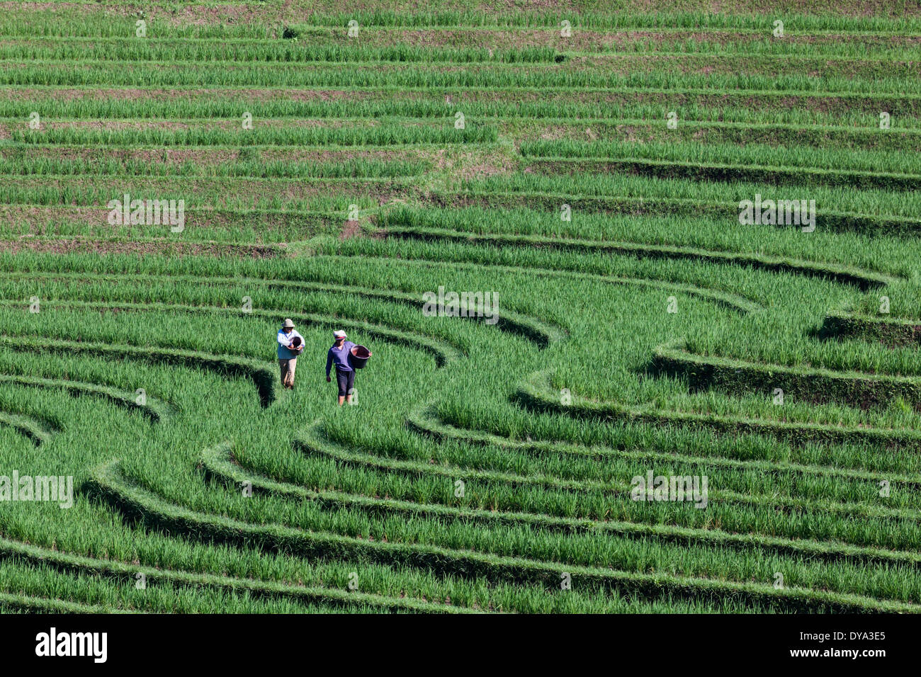 Two people working on rice field in region of Antosari and Belimbing, near the road from Antosari to Pupuan, Bali, Indonesia - Stock Image