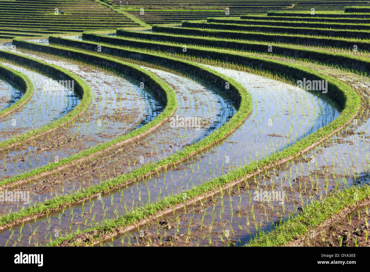 Rice field in region of Antosari and Belimbing (probably closer to Antosari), Bali, Indonesia - Stock Image