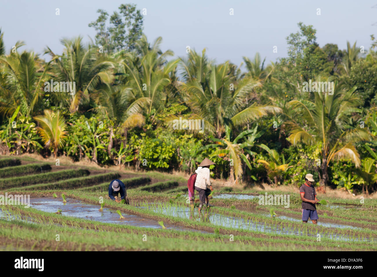 Group of people working on rice field in region of Antosari and Belimbing (probably closer to Antosari), Bali, Indonesia - Stock Image
