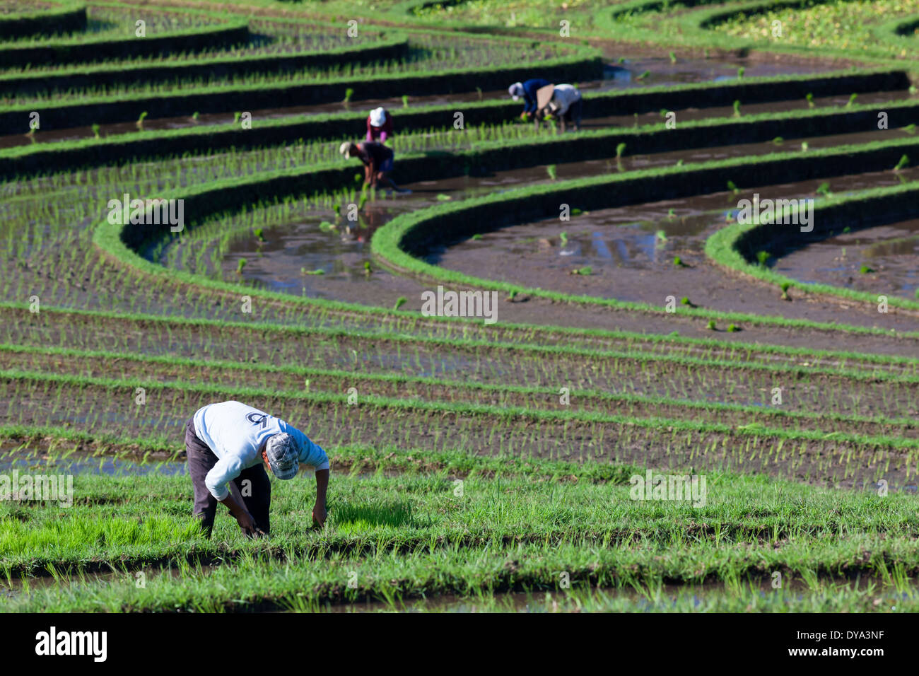 People working on rice field in region of Antosari and Belimbing (probably closer to Antosari), Bali, Indonesia - Stock Image