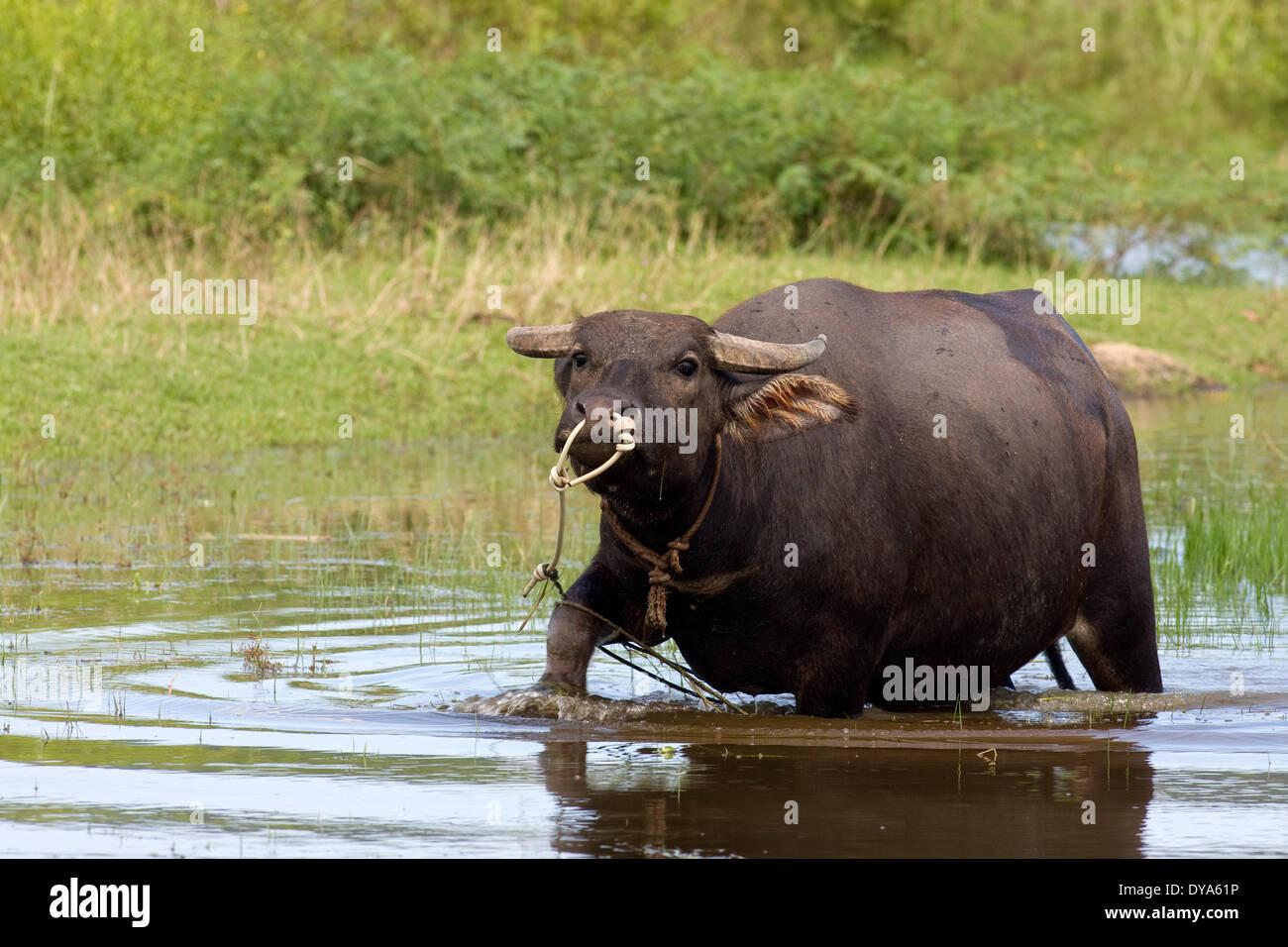 arnee Artiodactyla Asian Asia outside buffaloes Bovidae bubalis bubalus water horns hoofed animal island Langkawi Malaysia, - Stock Image