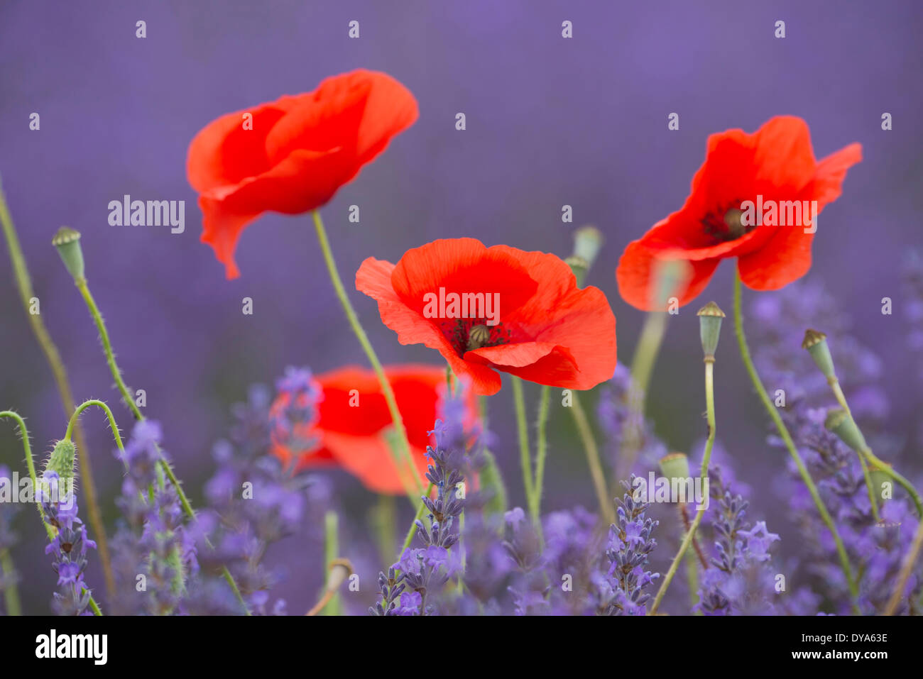 Europe, France, Provence, Vaucluse, poppy, poppies, bloom, flowers, lavender, nature, detail - Stock Image