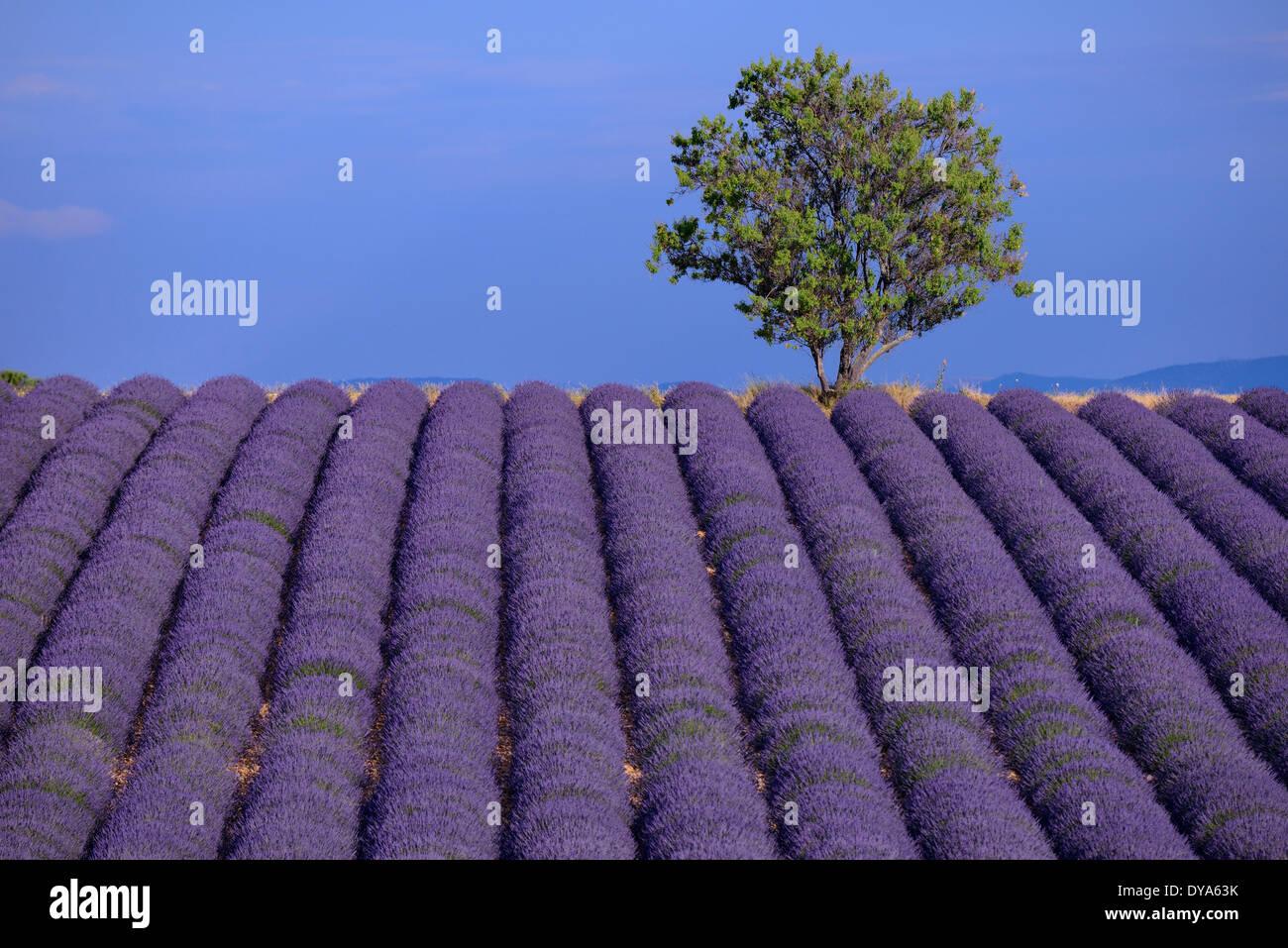 Europe France Provence Vaucluse Field Tree Lavender Bloom