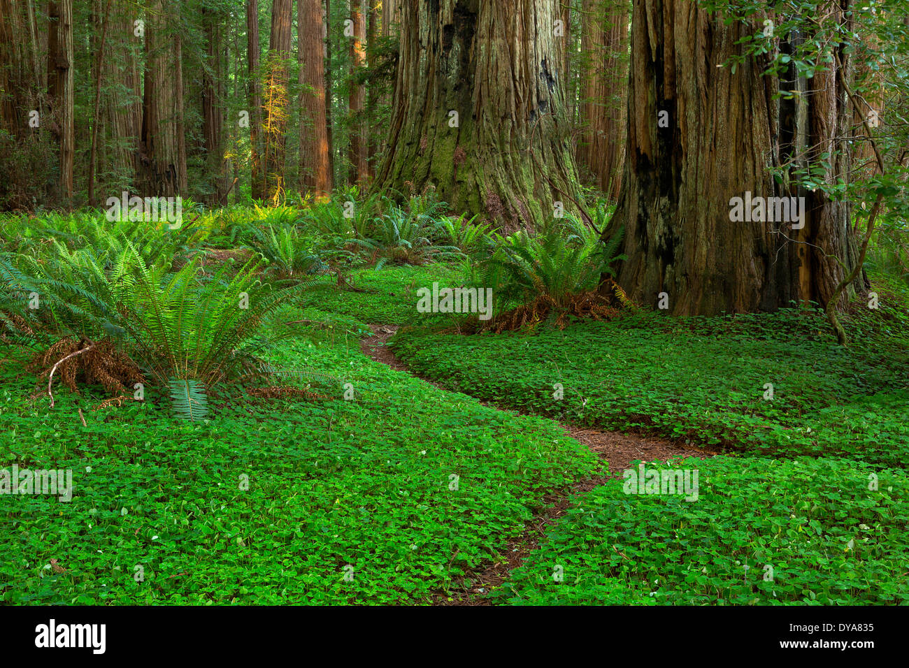 CA California USA America United States Redwood National Park Redwoods Redwood forest Sequoia sempervirens forest Stock Photo