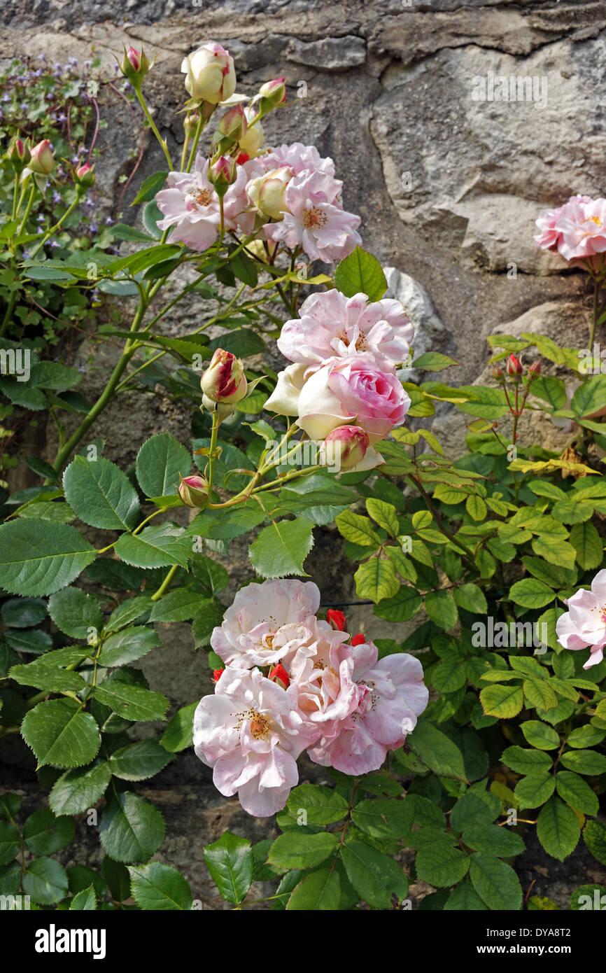 Europe, Italy, Veneto, Veneto, Garda, old sort, rose, flowers, detail, plants, wall - Stock Image