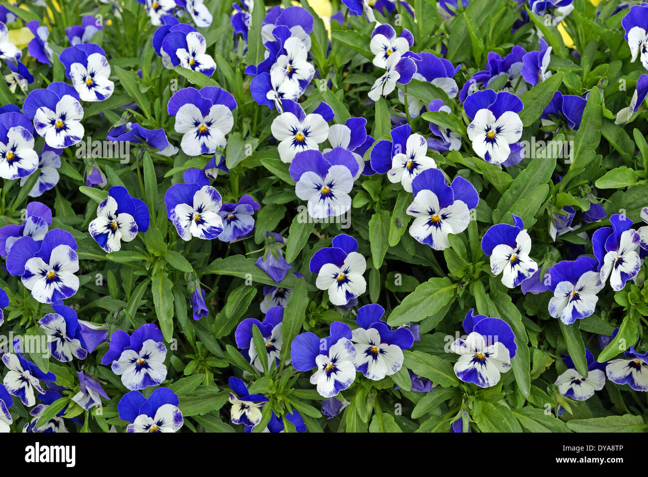 Europe, Italy, pansy, pansies, flowers, patterns, plants - Stock Image