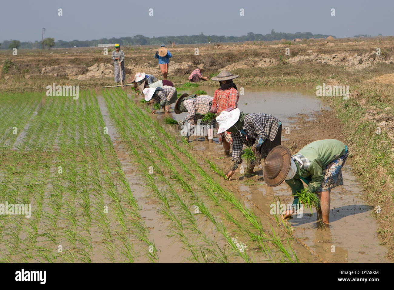 Mon, Myanmar, Burma, Asia, agriculture, farmers, hard, rice, traditional, work, working - Stock Image