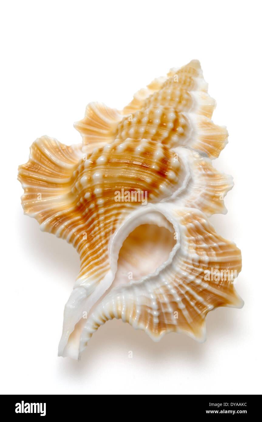 Maple Leaf Triton shell (Gyrineum perca) c2.5cm. Phillipines - Stock Image