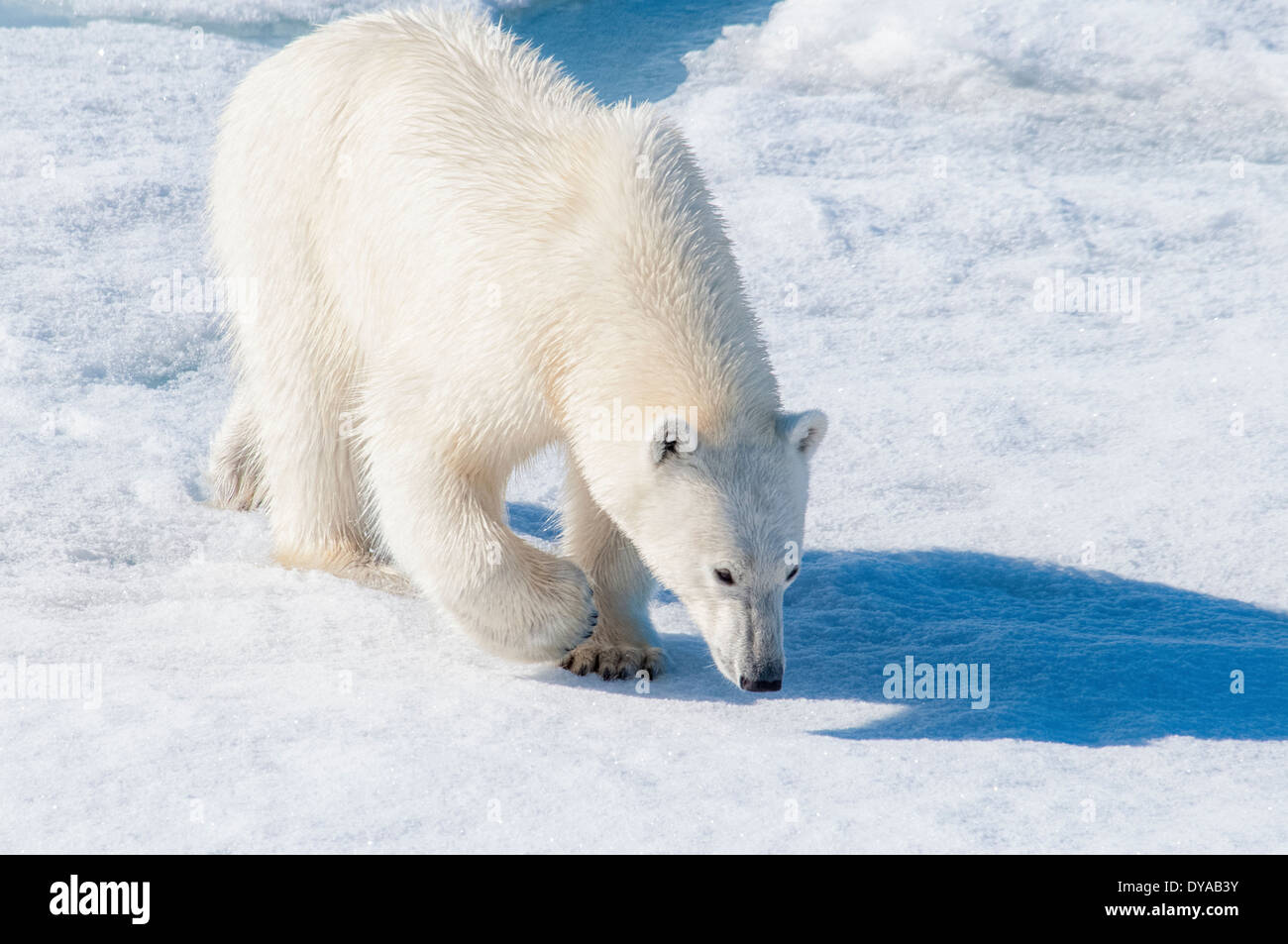 Young adult tagged Polar Bear, Ursus maritimus, looking for scent on pack ice, Bjornsundet, Svalbard Archipelago, Stock Photo