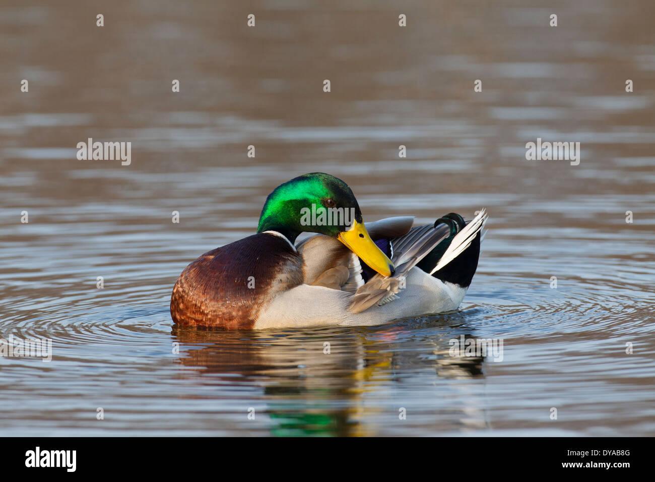 Mallard / Wild Duck (Anas platyrhynchos) male / drake in lake preening feathers of breeding plumage in spring Stock Photo