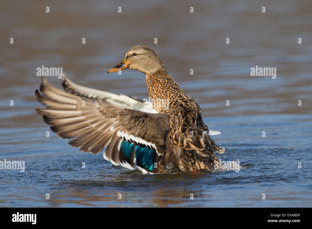 Mallard / Wild Duck (Anas platyrhynchos) female in lake flapping wings in breeding plumage in spring - Stock Image