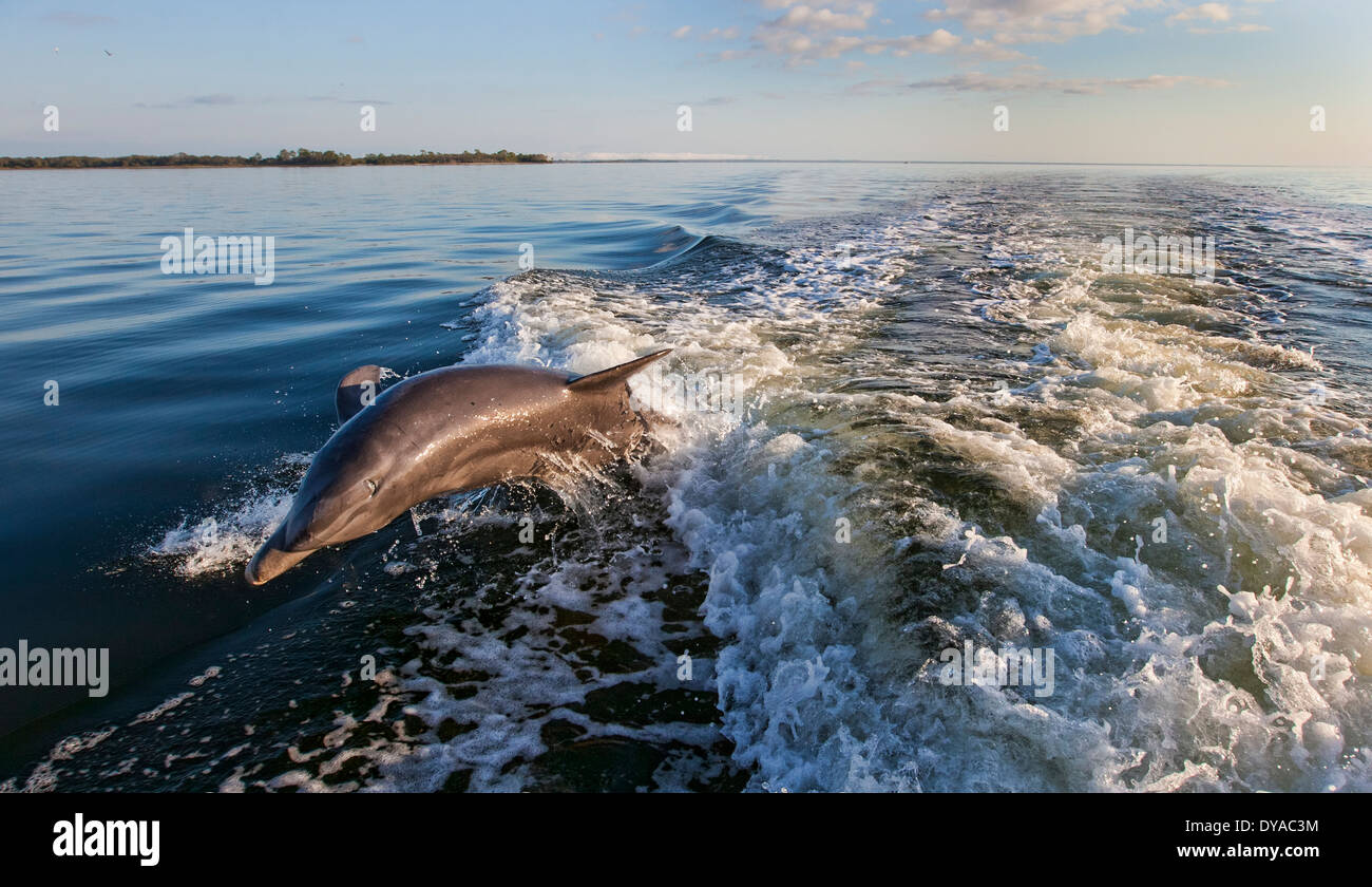 Two bottle nosed dolphin jumping in a boats wake with one of the dolphin almost out of the water - Stock Image